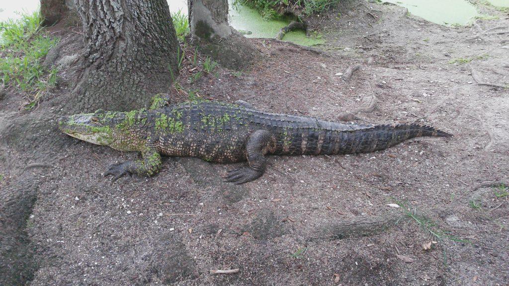 Headquarters Alligator